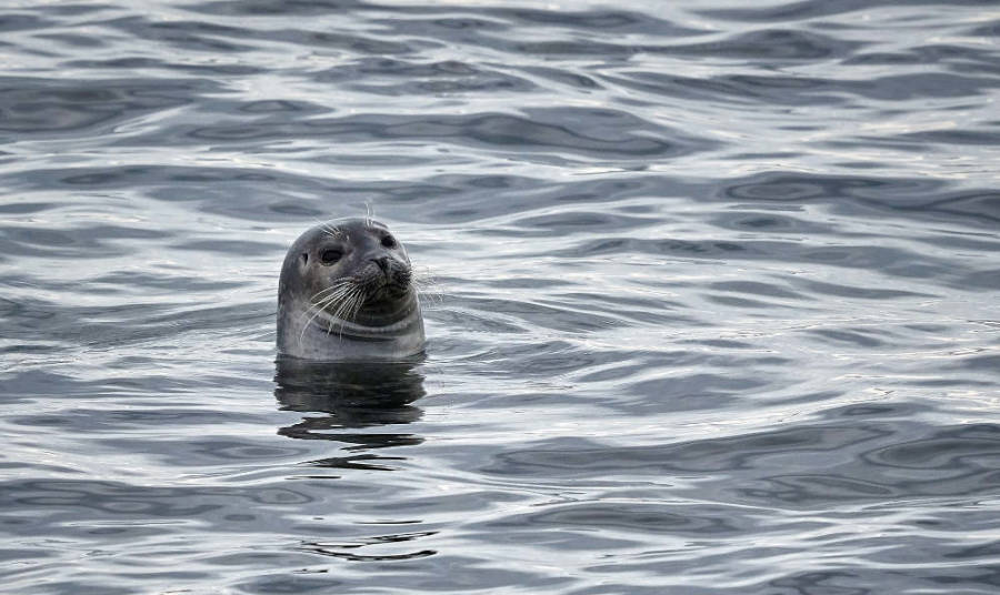 a seal looking out of the water